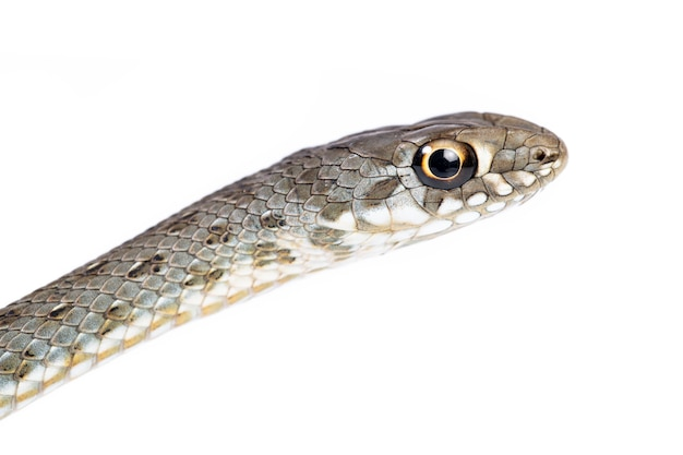 白い背景の上の若いモンペリエ ヘビ