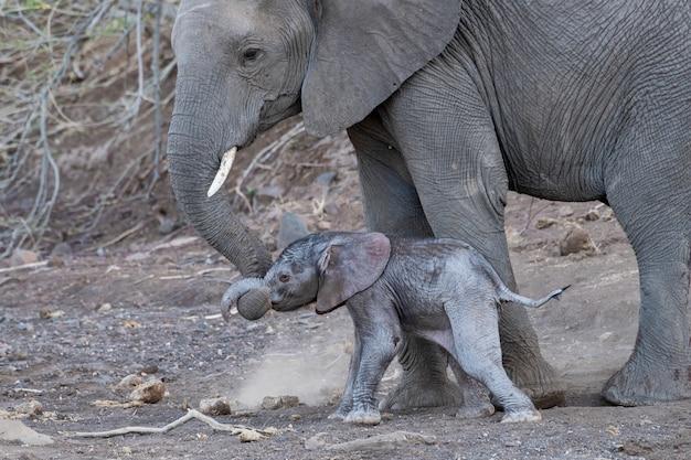 新生児の子牛の歩行を助ける若い母親の象