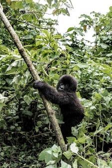 ヴィルンガ国立公園、アフリカ、コンゴ民主共和国、中央アフリカの若いマウンテンゴリラ。