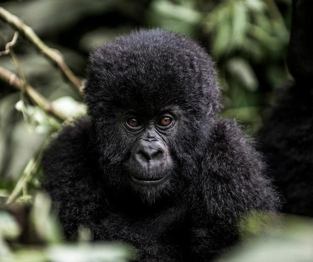 Молодые горные гориллы в национальном парке вирунга, африка, дрк, центральная африка