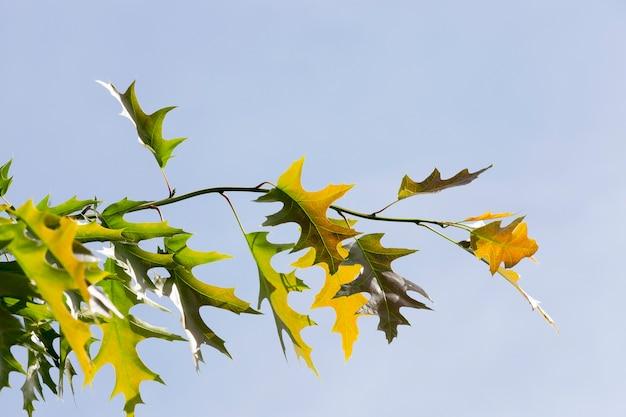 Молодые разноцветные и зеленые листья дуба в весенний сезон. ветви деревьев против голубого неба. крупный план