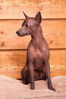 젊은 벌거 벗은 멕시코 품종 개는 나무 벽 배경에 앉아