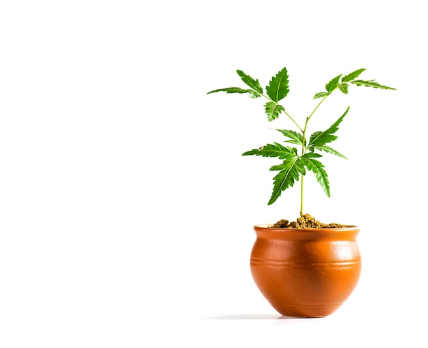 Young neem tree in clay pot on white wall. azadirachta indica tree.