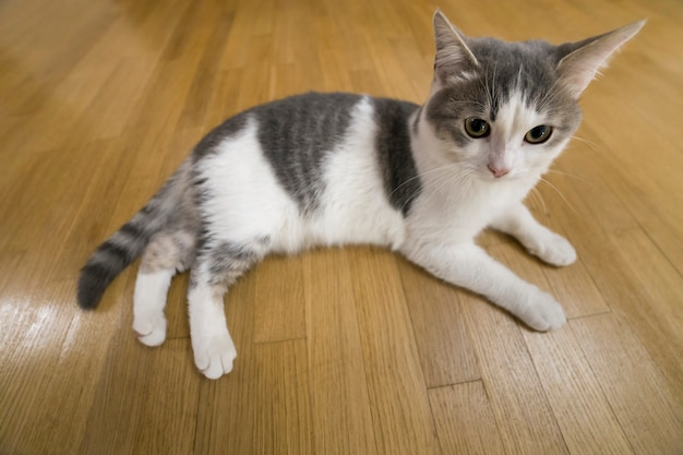 Young nice small white and gray domestic cat kitten laying relaxed on wooden floor indoors. keeping animal pet at home, concept.