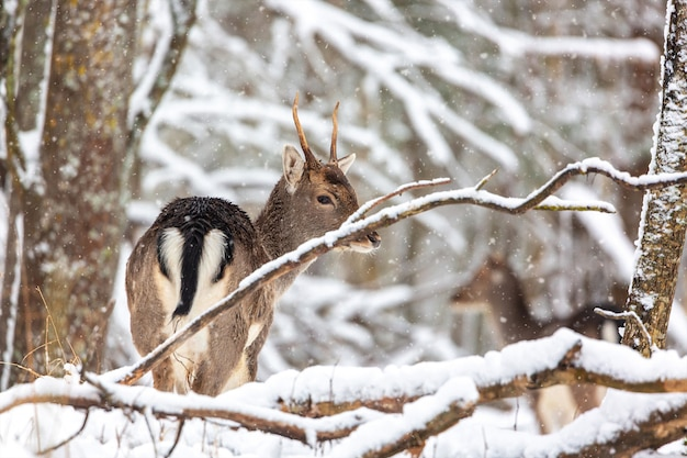 Young noble deer standing in winter forest during snowstorm.
