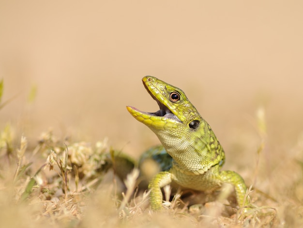 Young ocellated lizard (timon lepidus) in defensive posture