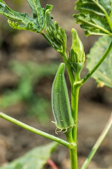 Young okra plant (lady finger) at farm field