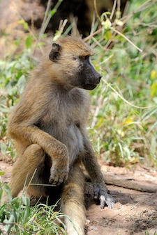 케냐의 마사이 마라 국립 공원에있는 젊은 올리브 개코 원숭이