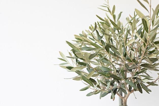 白い壁の壁の上の若いオリーブの木。コピースペース