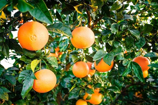 농업 사업에서 잘 익은 과일로 가득한 과수원에서 젊은 오렌지 나무