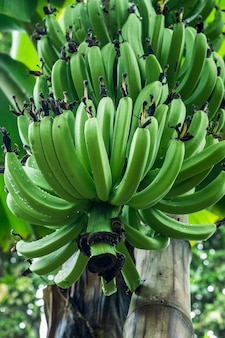 Молодые органические бананы, растущие на дереве в саду, крупным планом с выборочным фокусом