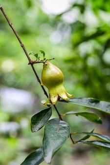 어린 유기농 녹색 석류는 가정 정원 내부의 나무에 가까운 전망을 제공합니다.