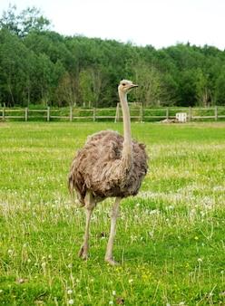 Молодой страус на траве, летнее время