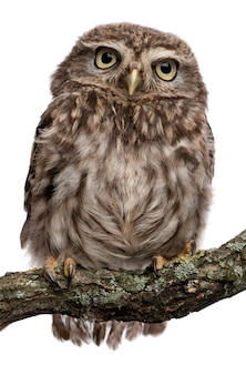 Young owl perching on branch on white isolated