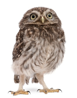 Young owl standing on white isolated