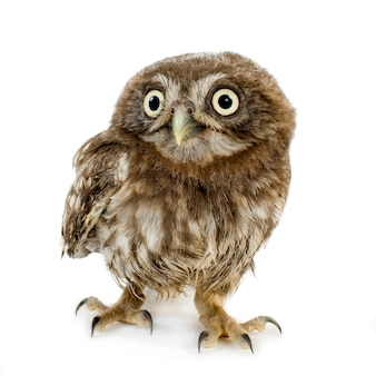 Young owl on white
