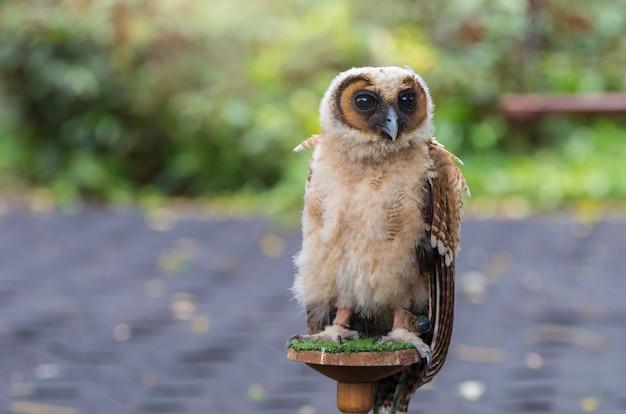 Молодой сова