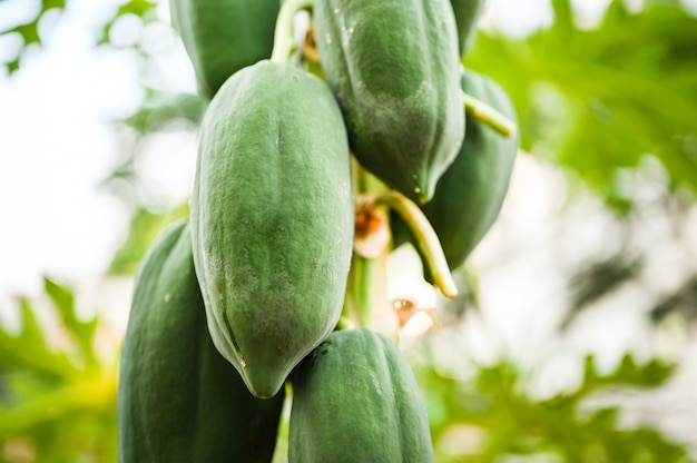 Young papaya in papaya tree in garden, plant or fruit from thailand.