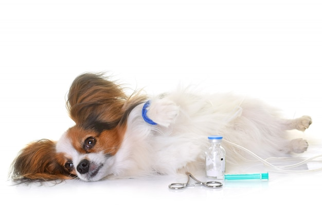 Young papillon dog sick