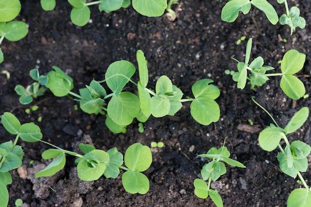 이른 봄 정원에서 어린 완두콩 식물입니다.