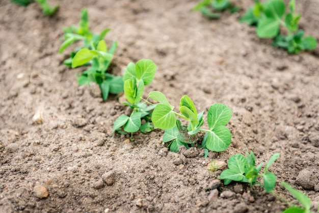 春の庭で育つ若いエンドウ豆
