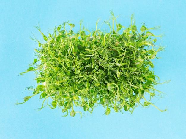 Ростки молодых горохов на синем фоне. побеги микрозелени для био салата. свежая органическая зелень, выращиваемая в домашних условиях.