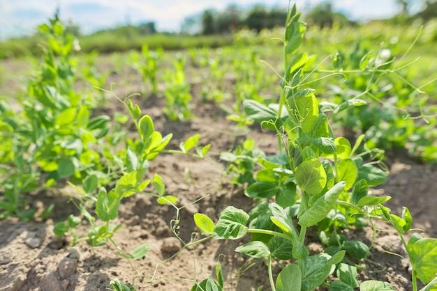Young peasants green peas in the garden, hobbies, vegetable garden, natural eco food