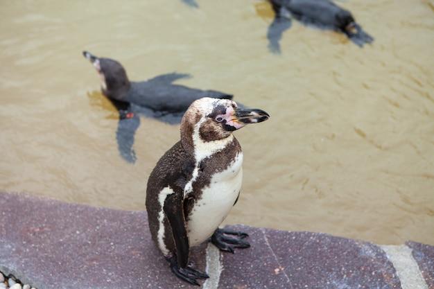 Молодой пингвин в зоопарке. пингвин стоит на камне. Premium Фотографии