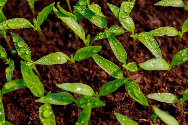 어린 고추 묘목. 원예. 어린 식물은 이식할 준비가 되었습니다.