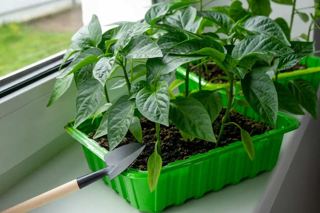 Young pepper seedlings in green container on window sill domestic organic farming.