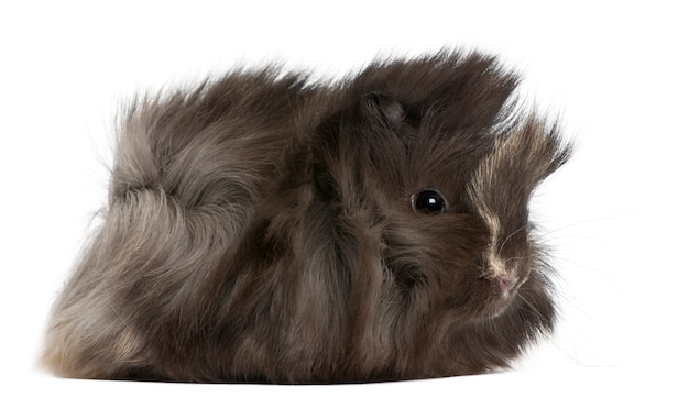 Young peruvian guinea pig, in front of white background