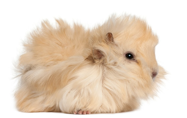 Young peruvian guinea pig in front of white background