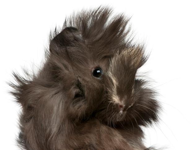 Young peruvian guinea pig