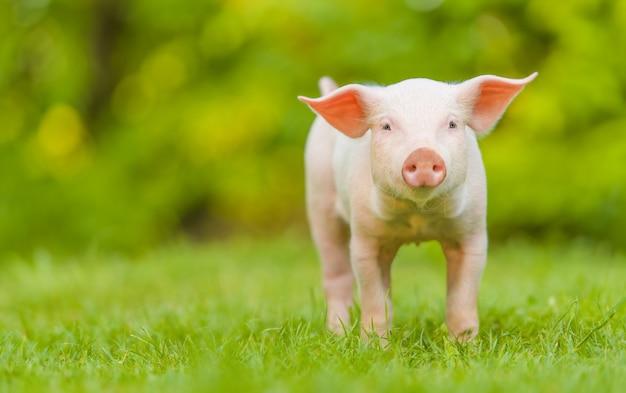 Молодой поросенок стоит на зеленой траве. счастливый поросенок на лугу, глядя в камеру.