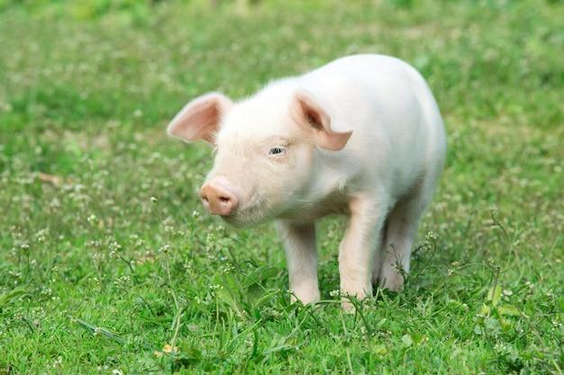 Молодой поросенок на весенней зеленой траве