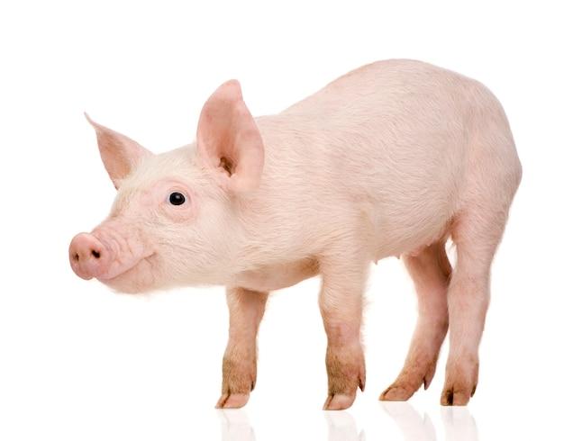 Молодая свинья с 1 месяца изолированы Premium Фотографии