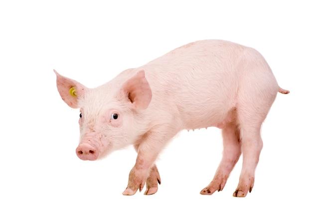 Молодая свинья с 1 месяца изолированы
