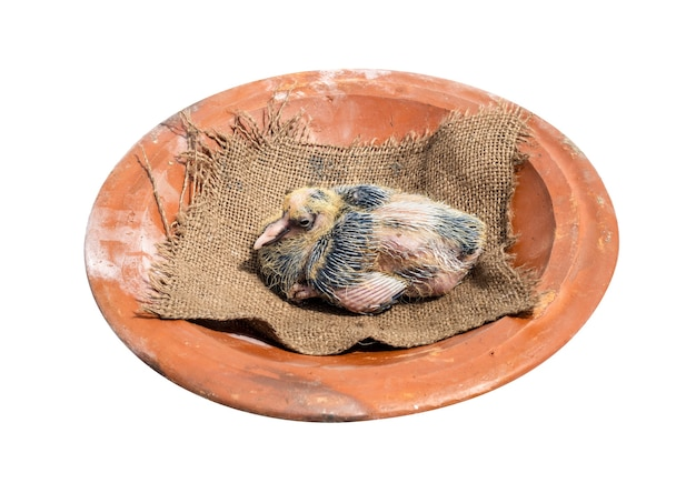 Young pigeon chick above a clay dish on white background