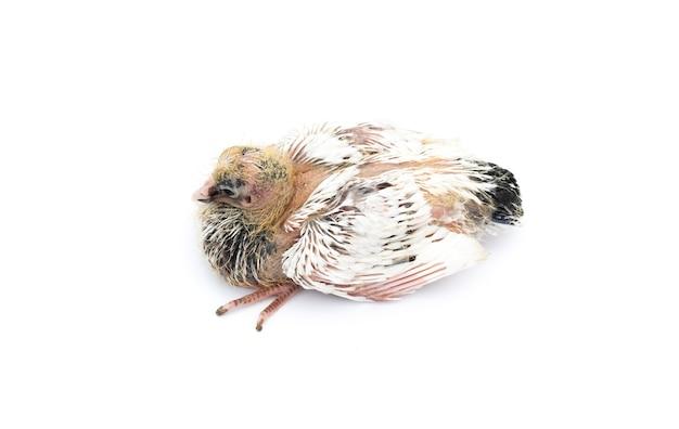 젊은 비둘기 병아리 흰색 배경에 상위 뷰를 닫습니다