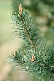 春に円錐形の若い松の枝。
