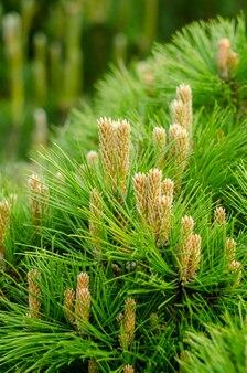 小さな円錐形のクローズアップと若い松の枝。植物の春の背景。