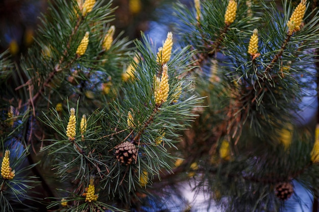 Young pine cones on tree branch