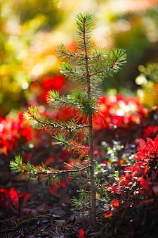 Young pine seedling in the autumn forest. the sun shines through the yellow foliage.