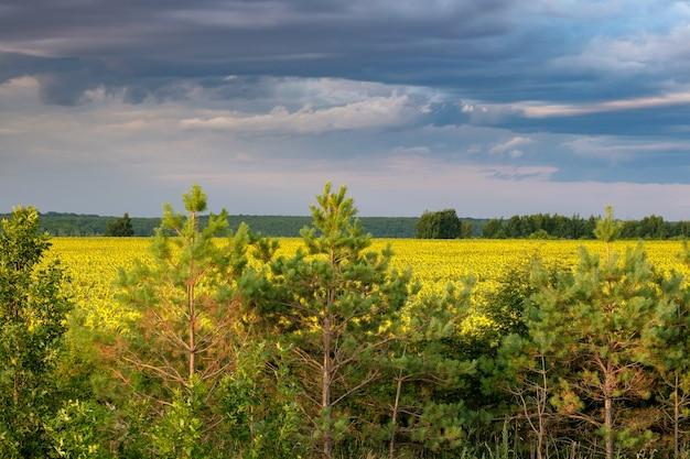 Молодые сосны на фоне желтого поля подсолнухов в летний день. мрачное небо с тяжелыми темными облаками на цветущих подсолнухах.