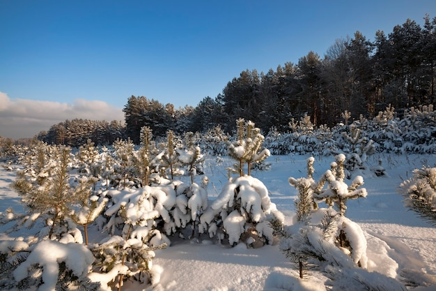 Young pines in a winter season. landing of new trees