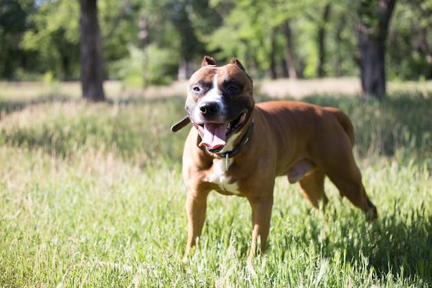 Молодой питбуль стоя на траве в парке. собака снаружи