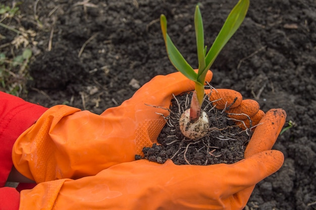 Young plant garlic in the hands of an agronomist wearing gloves.