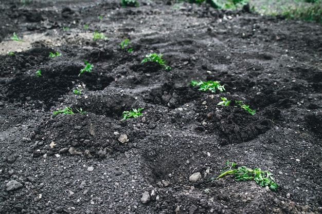 Young plant growing potatoes on the soil.