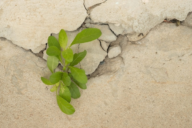 Young plant growth on the old white crack wall background