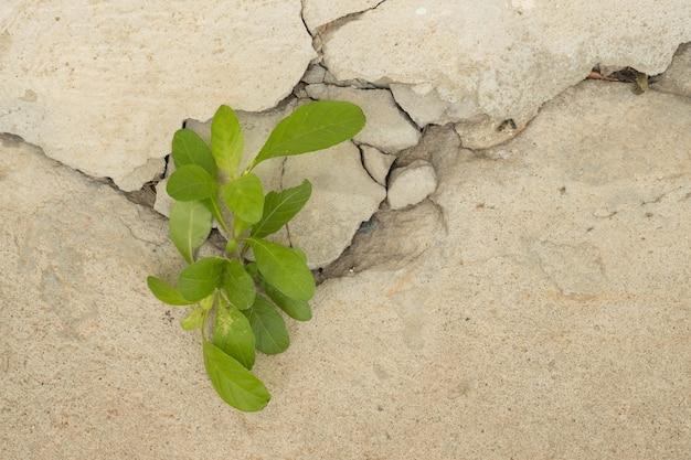 오래 된 흰색 균열 벽 배경에 젊은 식물 성장